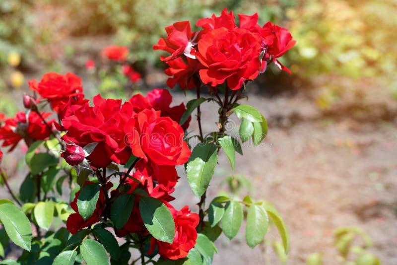 红色在绿色公园背景上升了  在灌木的红色玫瑰色特写镜头在公园 免版税库存照片