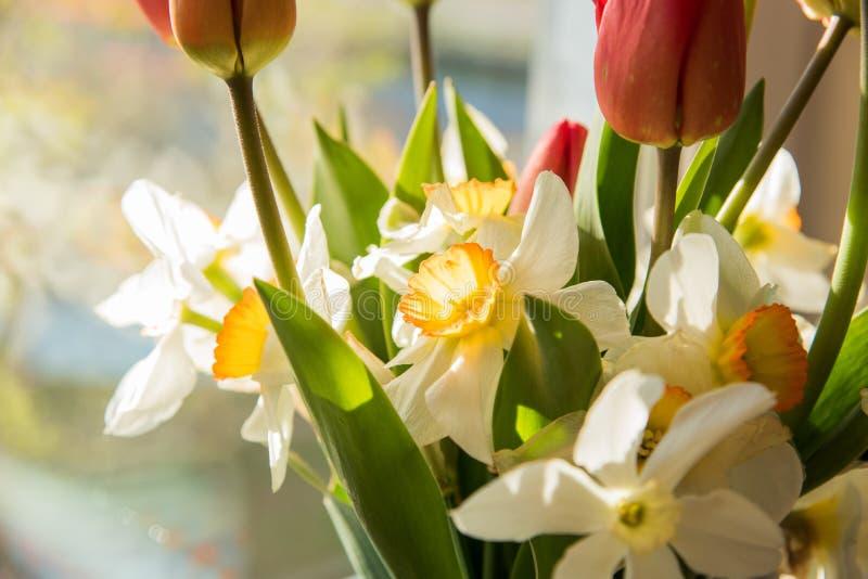 红色在花瓶的郁金香白色水仙在窗台 库存照片