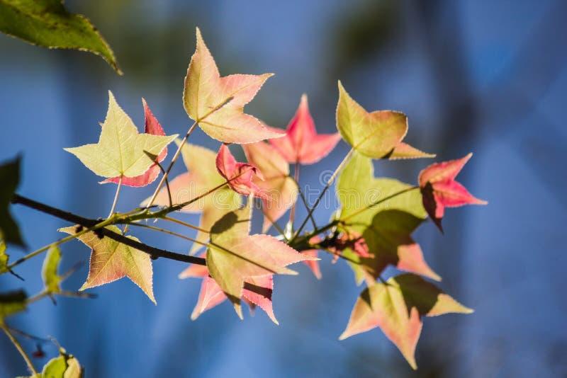 红色在蓝色bokeh背景把槭树留在 图库摄影