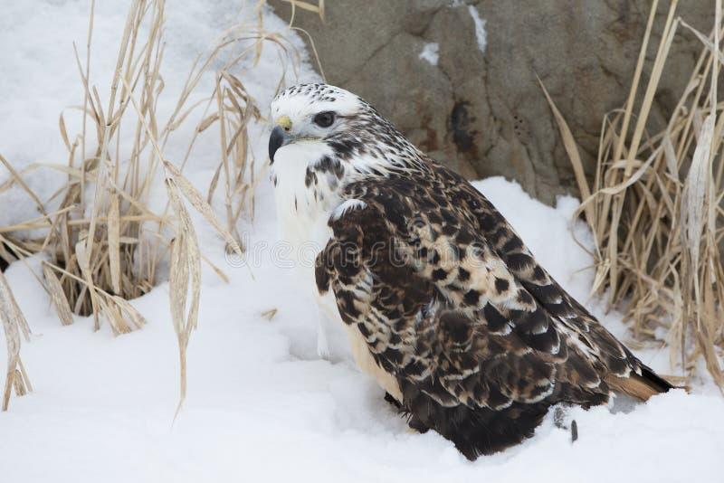 红色在雪的被盯梢的鹰 免版税图库摄影