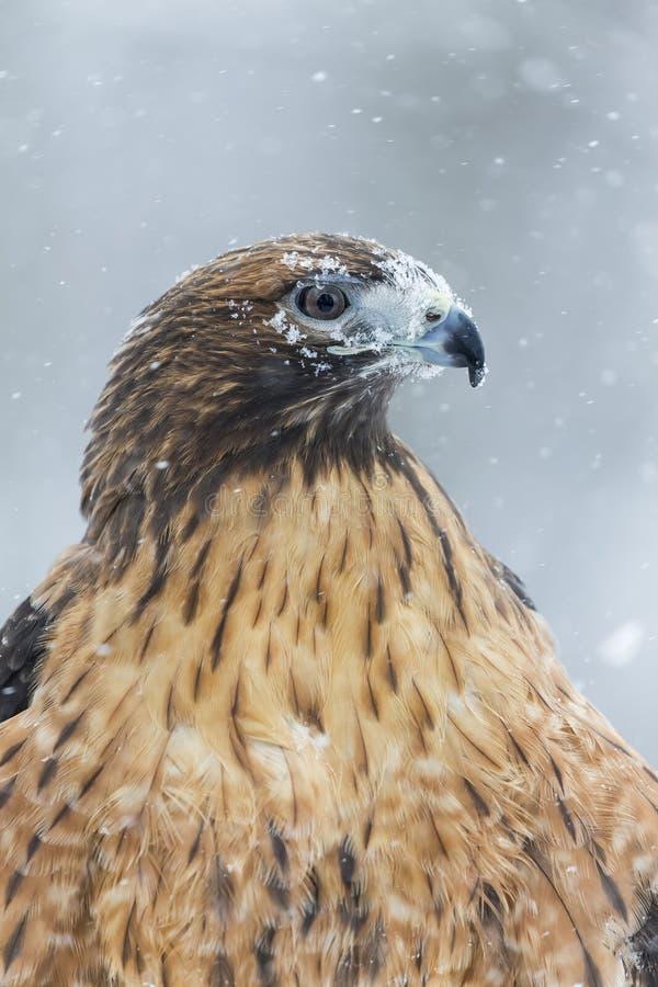 红色在雪的被盯梢的鹰 图库摄影