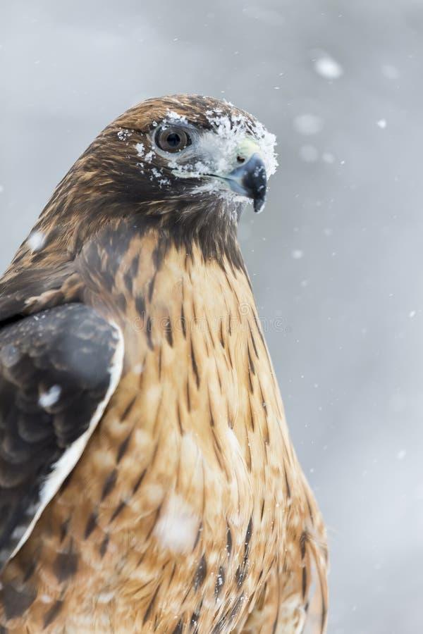 红色在雪的被盯梢的鹰 免版税库存图片