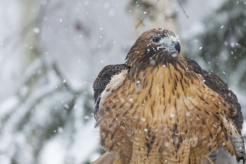 红色在雪的被盯梢的鹰 库存照片
