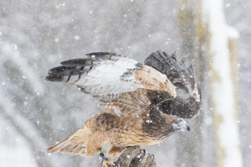 红色在雪的被盯梢的鹰 免版税库存照片