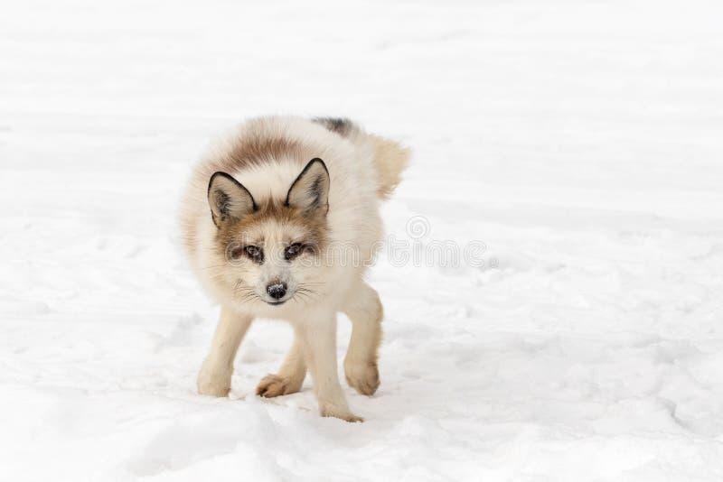 红色在震动以后的大理石Fox狐狸狐狸笨拙位置  免版税库存照片