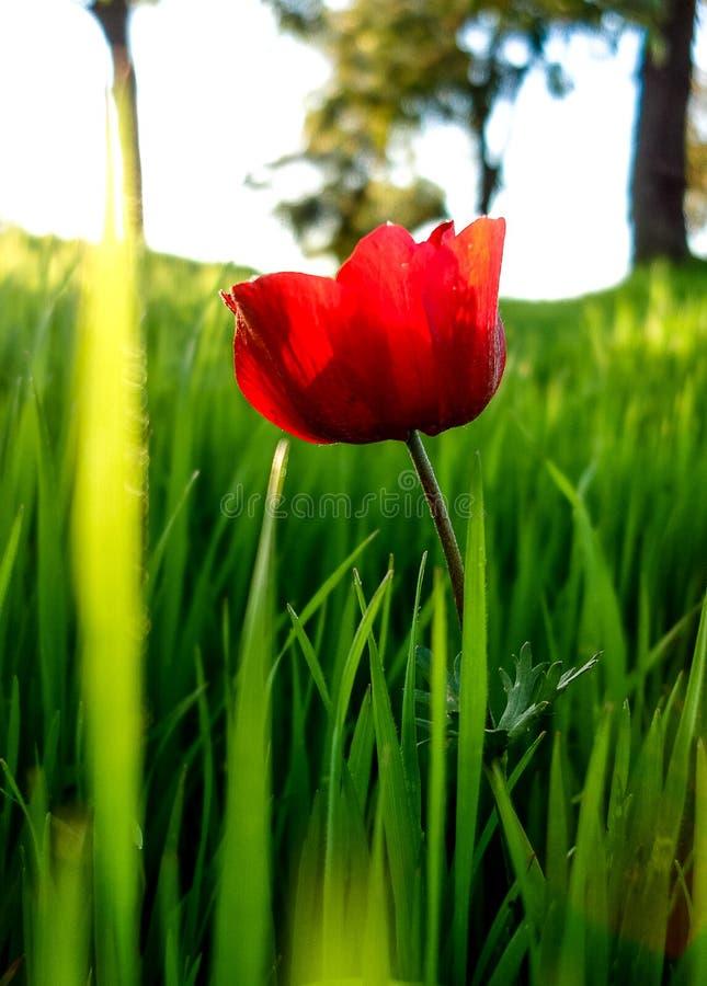 红色在绿草Fie的银莲花属领域冬天开花的宏观射击 库存照片