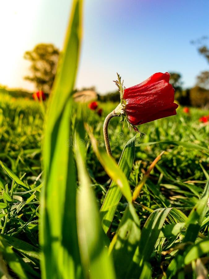 红色在绿草Fie的银莲花属领域冬天开花的宏观射击 免版税库存照片