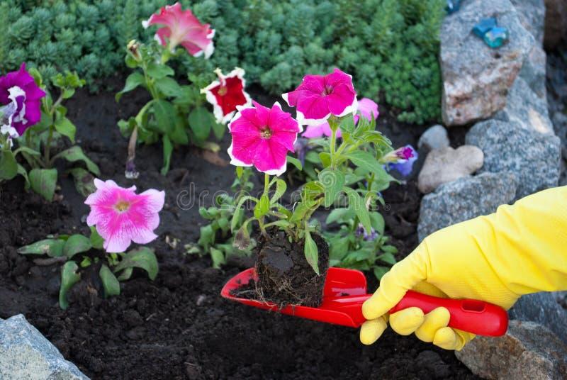 红色塑料铁锹在黄色橡胶手套春天工作的手上在地面上,松懈种植花 库存照片