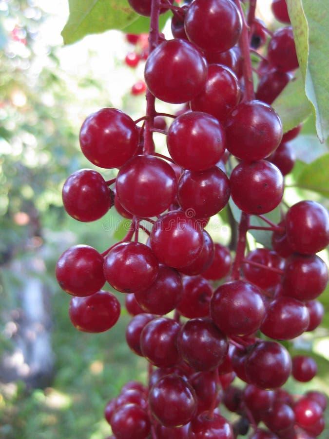 红色处女樱桃群在一个晴天成熟 稠李 库存照片