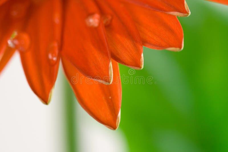 红色大丁草宏观的瓣 库存照片