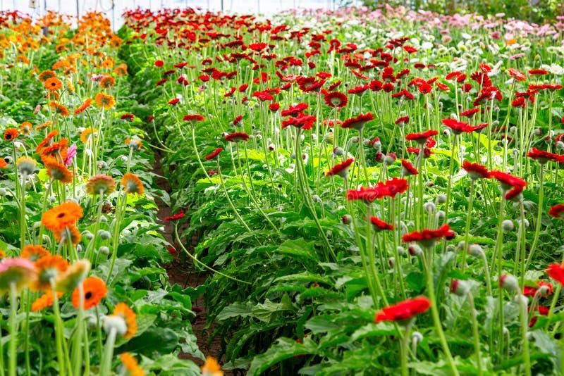 红色大丁草自现代温室增长在人为growlight下 免版税库存图片