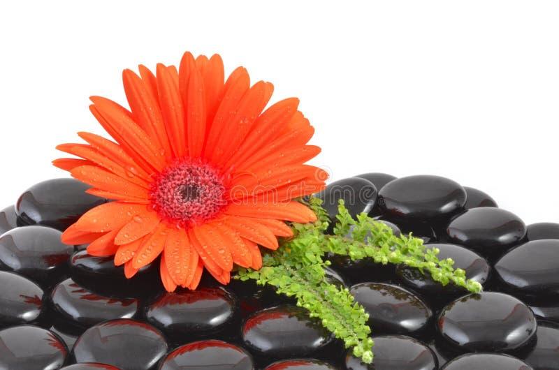 红色大丁草花和黑禅宗石头 库存照片