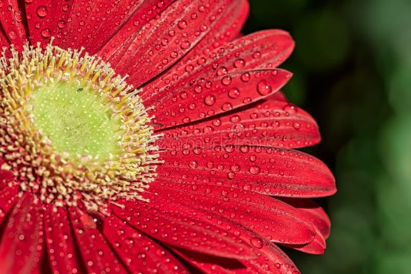 红色大丁草花-与红色大丁草花细节的宏观摄影与水滴的在自然阳光下的瓣 免版税库存照片