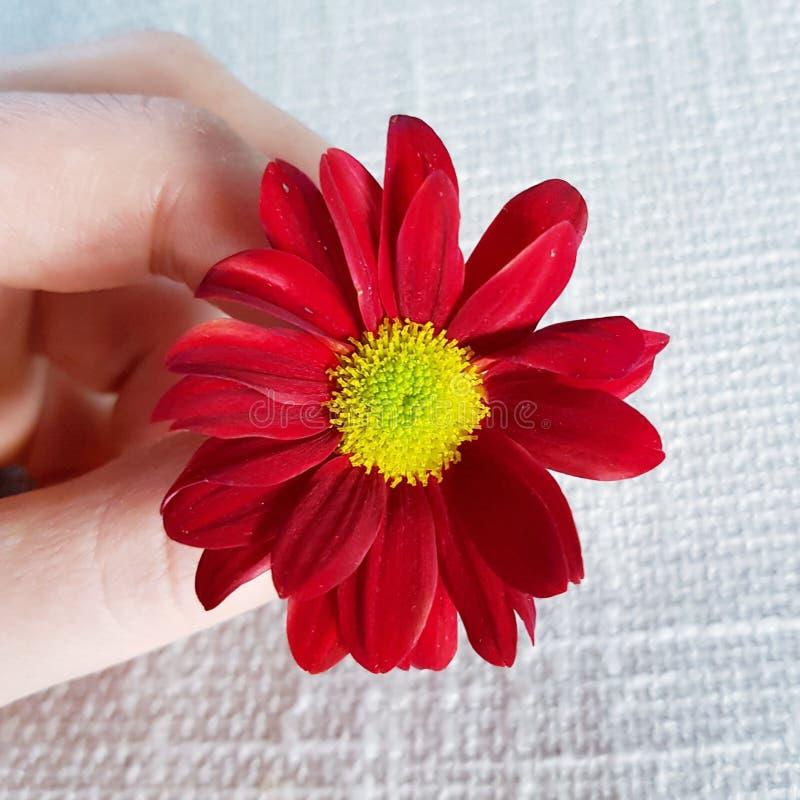 红色大丁草花 美丽的开花特写镜头 免版税库存图片