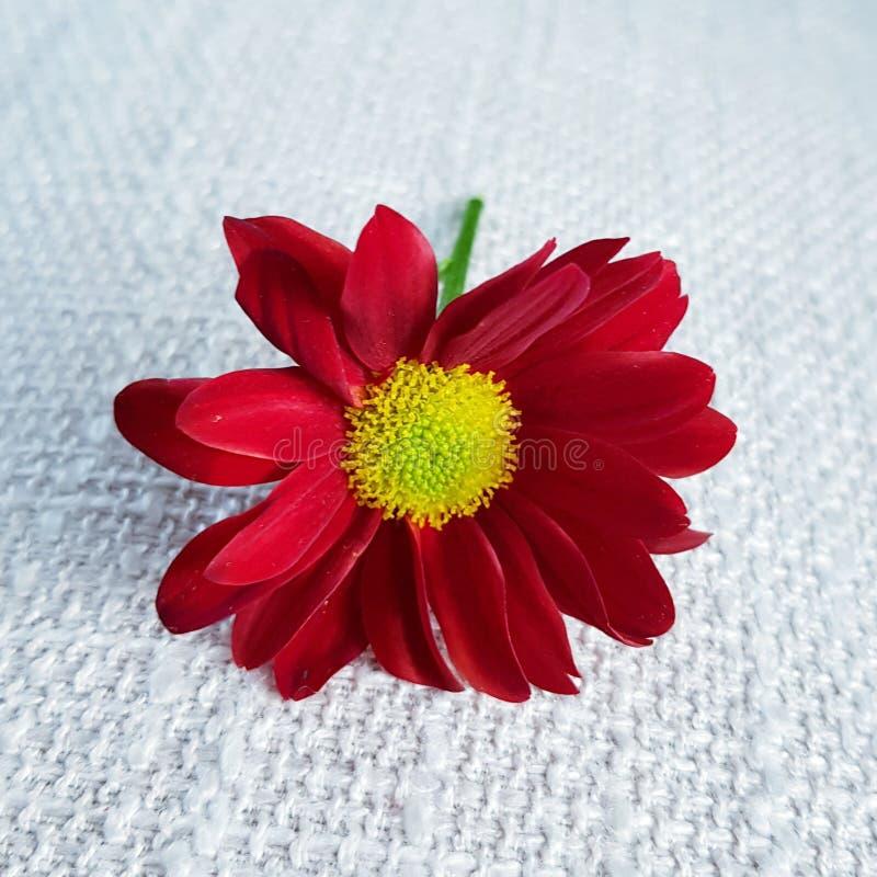 红色大丁草花 美丽的开花特写镜头 免版税图库摄影