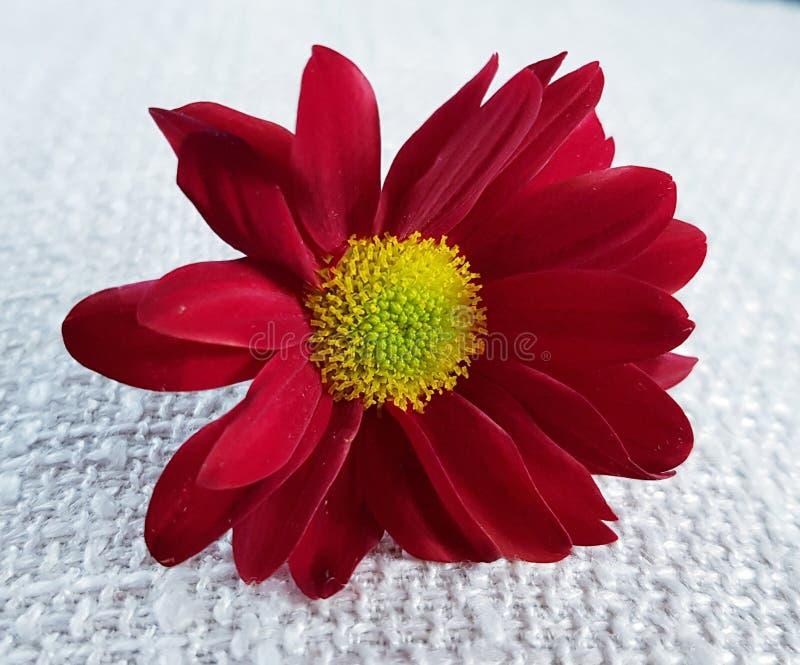 红色大丁草花 美丽的开花特写镜头 库存照片