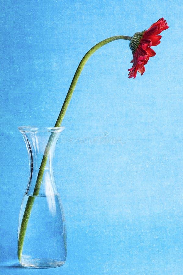 红色大丁草雏菊花瓶水纹理 库存图片