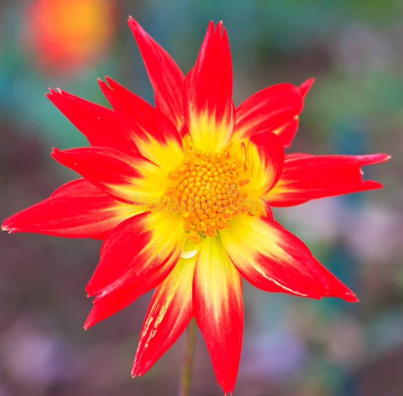 红色大丽花和黄色花粉 免版税库存照片