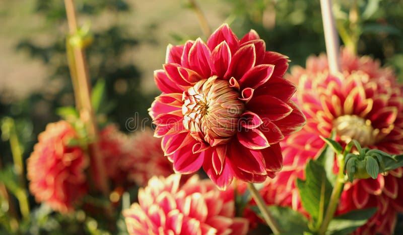 红色大丽花在庭院里 免版税图库摄影