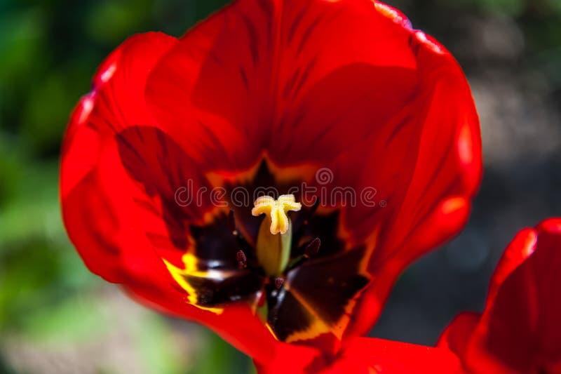 红色大开放郁金香在庭院里 免版税库存图片