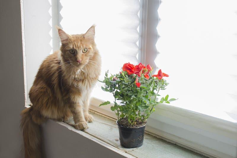 红色大理石缅因树狸猫坐窗台在罐的一朵红色玫瑰旁边 免版税库存照片