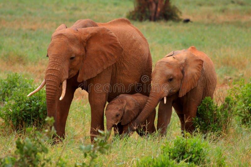 红色大象的生成 免版税库存照片