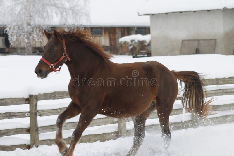红色大量马运行在冬天疾驰 库存照片