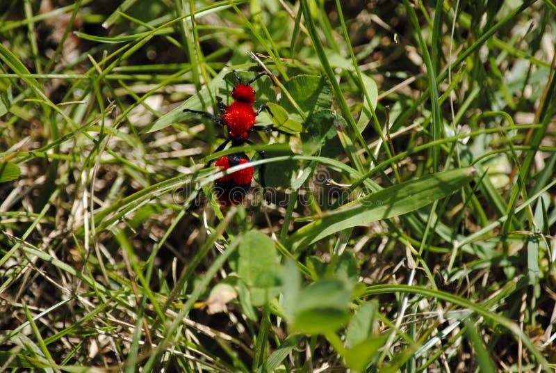 红色天鹅绒蚂蚁 免版税库存图片