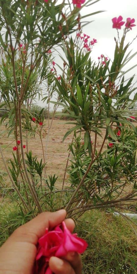 红色夹竹桃oriender花 库存图片