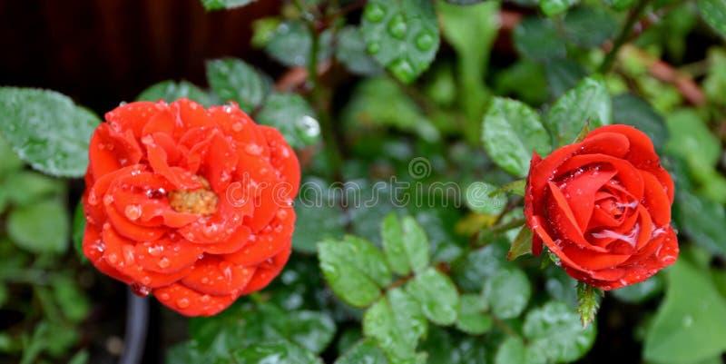 红色好的玫瑰 美丽的花在庭院里盛夏,在一个晴天 绿色landscapeMorning 免版税库存照片