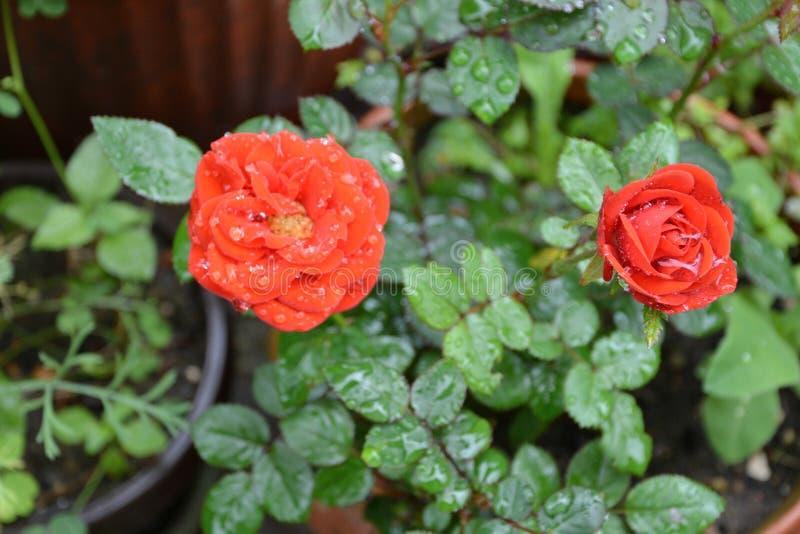 红色好的玫瑰 美丽的花在庭院里盛夏,在一个晴天 绿色landscapeMorning 库存照片