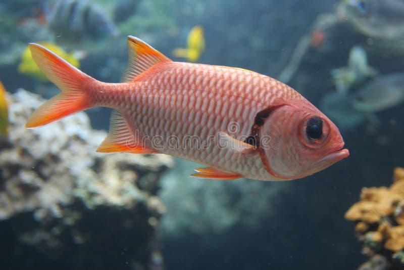 红色寄居鱼 图库摄影