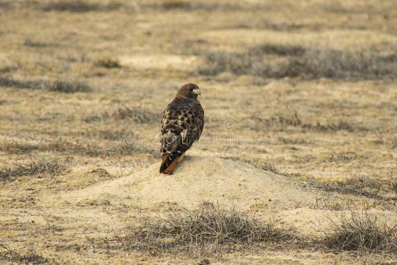 红色尾巴鹰在草原土拨鼠土墩,午餐的Waitng栖息 免版税库存图片