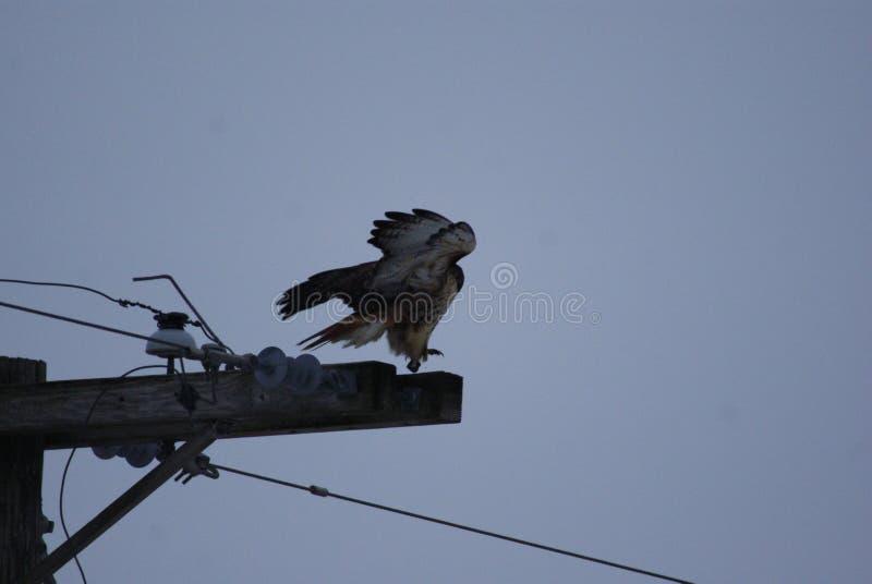 红色尾标鹰 免版税图库摄影