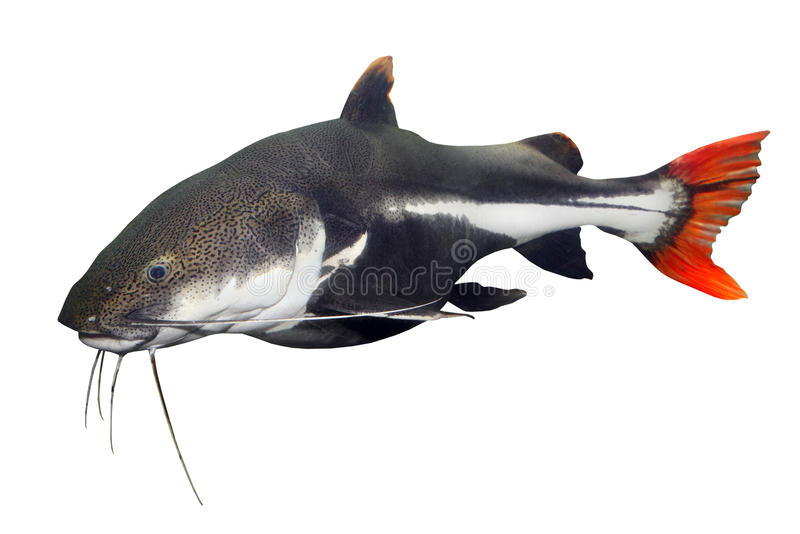 红色尾巴鲶鱼(Phractocephalus hemiliopterus)。 库存照片