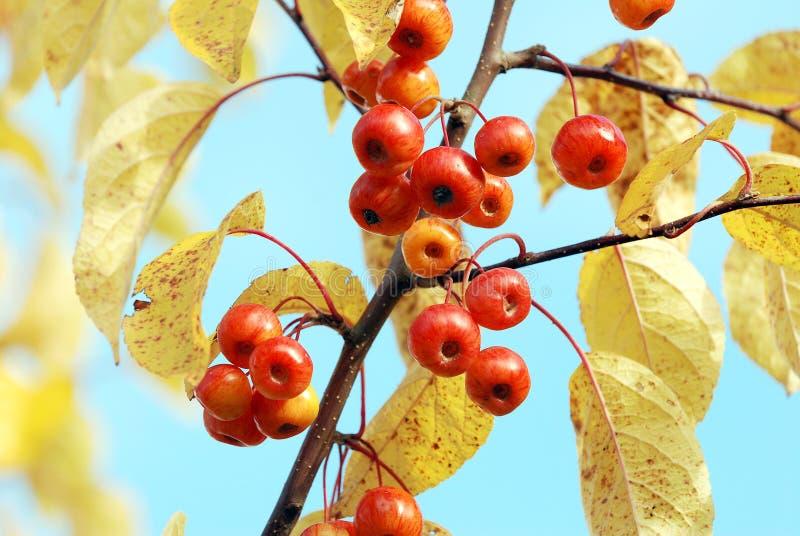 红色山楂子和黄色叶子 库存图片