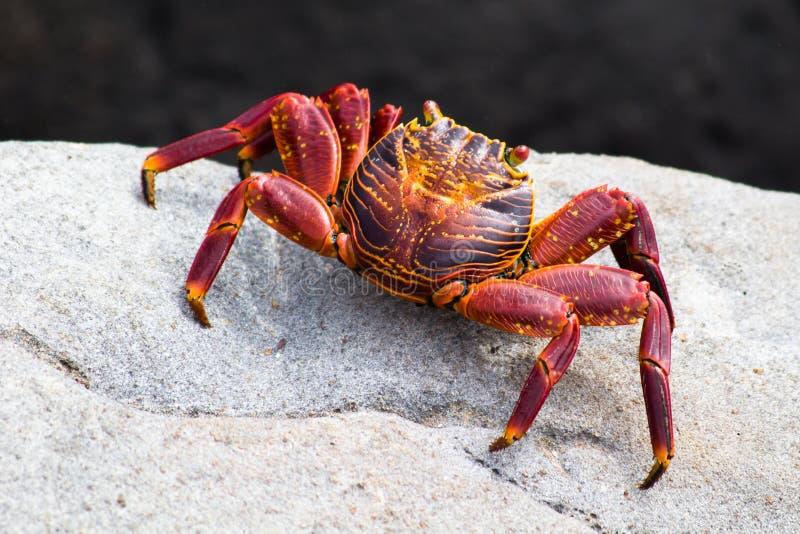 红色岩黄道蟹 免版税库存图片