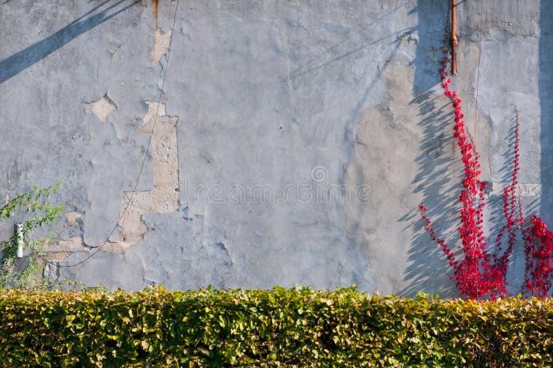 红色常春藤的阴影在墙壁上的 免版税库存图片