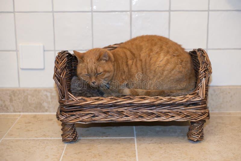 红色平纹猫 库存照片