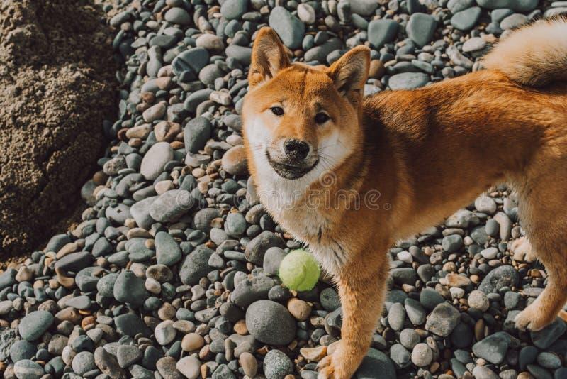 红色幼小狗站立在与绿色球的海滩的什巴inu 库存照片