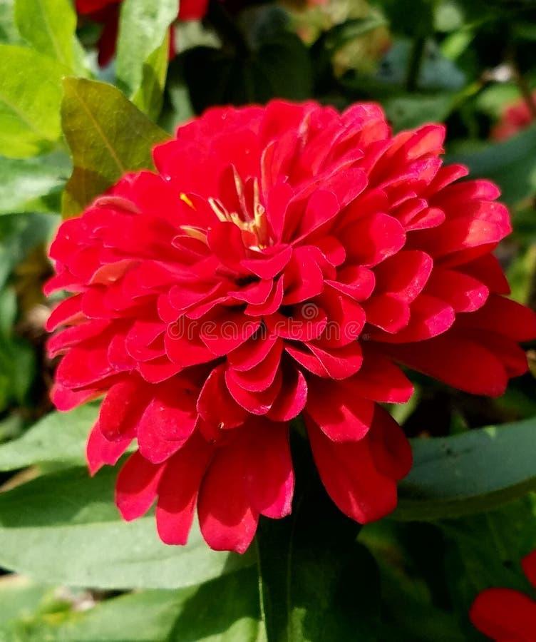 红色庭院绽放 免版税库存图片