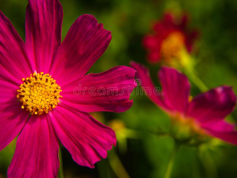 红色庭院花波斯菊bipinnatus 图库摄影
