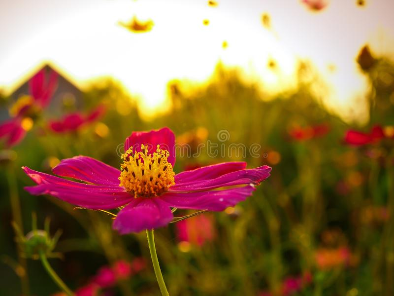 红色庭院花波斯菊bipinnatus 库存图片
