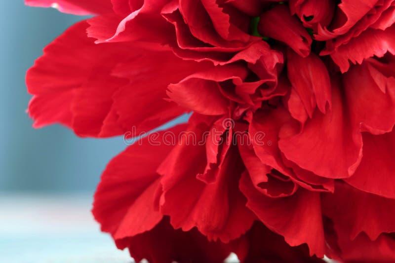 红色康乃馨花宏观照片作为背景 免版税图库摄影
