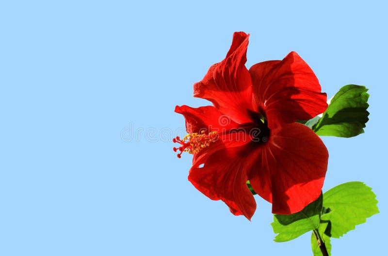 红色开放花中国木槿(木槿罗莎sinensis) 库存图片