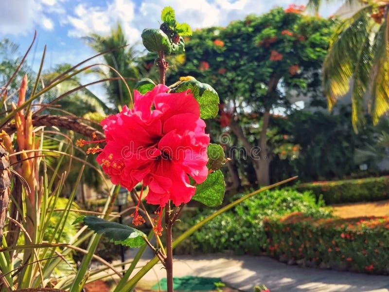 红色开花的木槿花在热带庭院里 库存图片