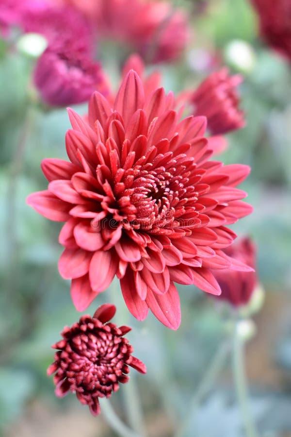 红色开花的花 库存照片