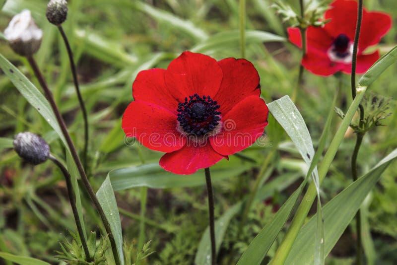 红色开花的银莲花属在一个晴朗的夏日 图库摄影
