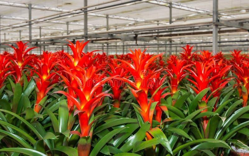 红色开花的bromeliad植物在托儿所 免版税库存照片