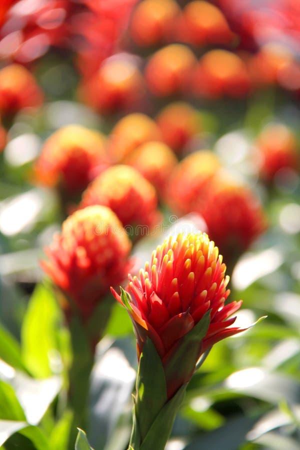 红色开花的bromeliad植物 免版税图库摄影
